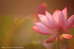 Waterlily, NTU Experimental Farm  June 12, 2011 (*Yueh-Hua 2016) Tags: morning light plant flower sunshine canon landscape eos dawn is waterlily bokeh taiwan bee ii 5d ntu   experimentalfarm          taipeicounty       canoneos5d nationaltaiwanuniversity horizontalphotograph     l       canonef70200mmf28lisiiusm is 2011june