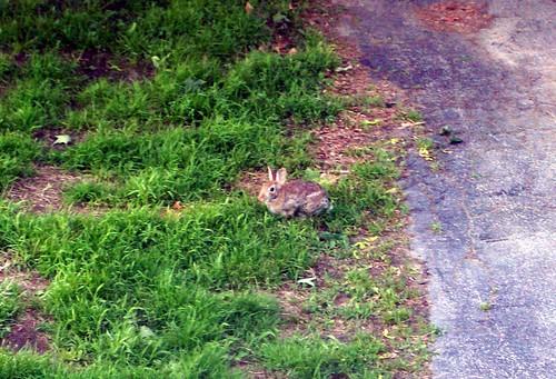 Bunny_6311