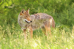 Coyote In Grass (affinity579) Tags: coyote wild portrait nature grass animal nikon quebec wildlife 70200mm ecomuseum 2xteleconverter coth specanimal d700 mothernaturesgreenearth