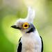 White Helmetshrike (Straight-crested) (Prionops p. plumatus)