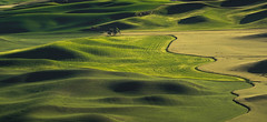 Lone Ent (Maddog Murph) Tags: tree palouse steptoe spokane eastern washington farming farm land wheat fields hills hill green lines shadows rural country