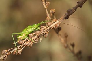 Bush Cricket (Ephippiger ephippiger fem.)