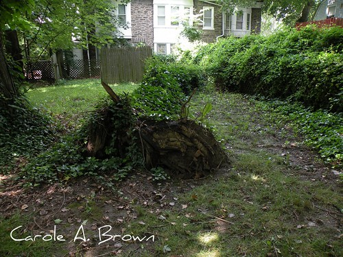 Norway Maple Blowdown