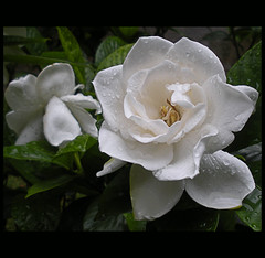 ...elas floreceram novamente, as Gardnias !!! (Martha MGR) Tags: flowers white flores flower folhas nature natureza flor chuva vernissage bianco blanc 1000views chove dropwater flres mmgr mywinners theunforgettablepictures marthamgr reservaespecial 4msphotographicdream 3msroyalflowers gotasdgua 2msroyalstation marthamariagrabnerraymundo marthamgraymundo
