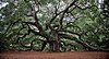 Angel Oak (Dave Schreier) Tags: old tree leaves angel giant island oak south carolina huge strength johns