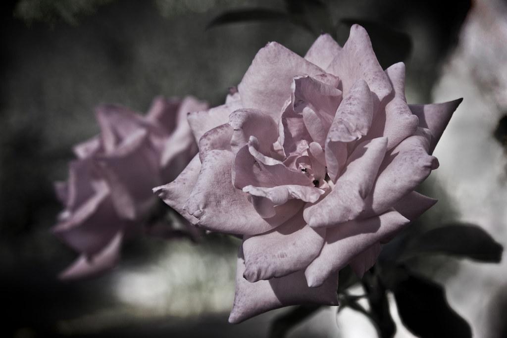 Rosa Old Blush #2