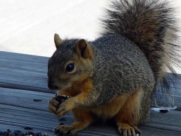 FoxSquirrelVisitor.jpg