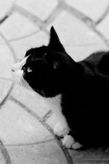 Shy cat (Daniel Vijoi) Tags: people bw pet cats pets white black detail beautiful look cat photo amazing kitten gorgeous details kitty shy peoples