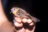 Epinecrophylla leucopthalmaMorona PE 7-01 1 (barbetboy) Tags: fbwnewbird fbwadded myrmotherula whiteeyedantwren myrmotherulaleucophthalma epinecrophyllaleucophthalma