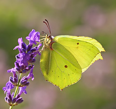 Mr Brimstone (Greenwings Wildlife Holidays) Tags: macro male yellow tongue butterfly insect lepidoptera backlit brimstone proboscis greenwings mattberry butterflyconservation gonopteryxrhamni photocontesttnc11 greenwingsco