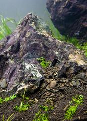 90x45x45cm Planted Tank - Detail shot (Stu Worrall Photography) Tags: nature grass stone hair aquarium ada hc 90p as tennelus iwagumi ukaps aquasoil ukapsorg 90x45x45 opriwhite