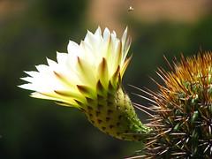 cactus (.el Ryan.) Tags: chile cactus flores flower argentina desert blossom mendoza desierto espinas losvilos illapael