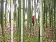 Bamboo Forest (tom_2014) Tags: japan forest garden japanese japanesegarden kyoto asia ninja bamboo pole bamboopole bambooforest