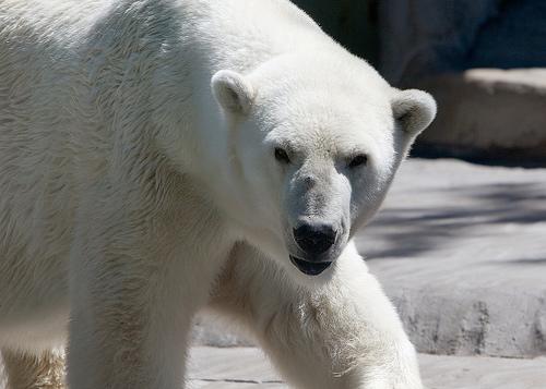 longhorndave polarbear1