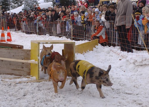 New Year's pig race in Davos
