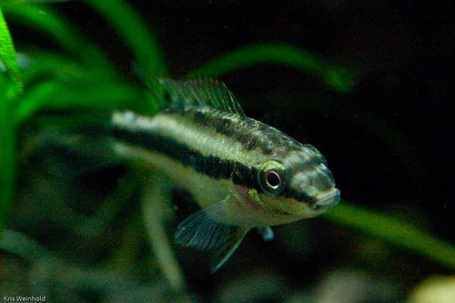 Pelvicachromis Pulcher Super Red