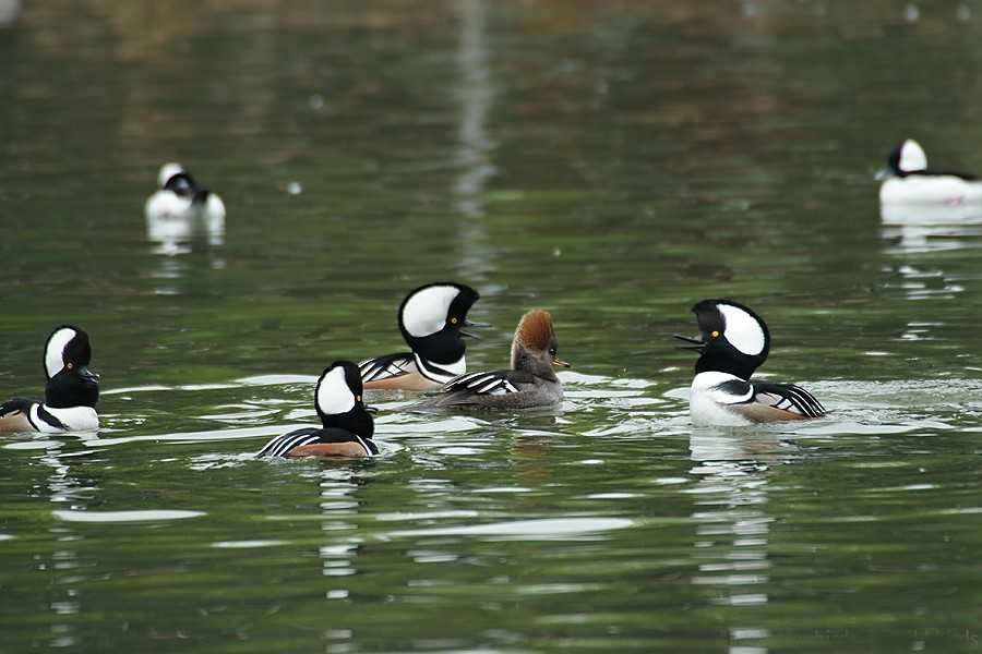 Hooded Merganser 12091-10