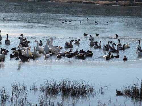 Waterfowl on half-frozen lake, McKinney, Texas January 2010