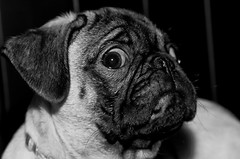 Titan the Pug - Pet Photography