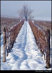 Wineyard at rest (cienne45) Tags: winter friends italy cienne45 carlonatale natale wineyard gavi mywinners bestofmywinners wineyardatrest
