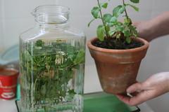 Vasinho de hortelã e vasinho
