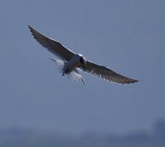 Ooooppps (straycat2009) Tags: ca moss landing tern forresters