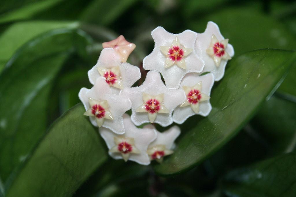 Wax Plant Flower