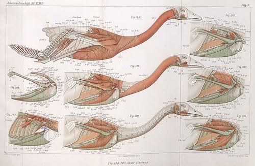 Anser cinereus IN 'Zur vergleichenden Anatomie..' (Vogel - V. 5) 1900 by Max Fürbringer