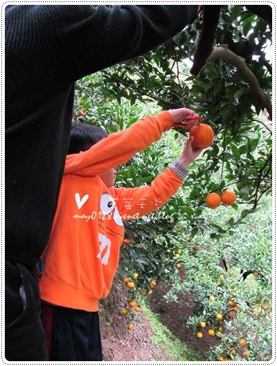 關西採草莓橘子牛欄河2010.02.20-24