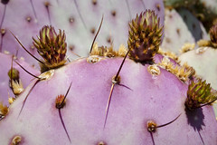 Cactus (NedraI) Tags: cactus az feb mesa flowerbud
