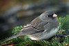 Female Junco (Clyde Barrett (0ffline)) Tags: female newfoundland junco nl nfld supershot anawesomeshot clydebarrett goldstaraward