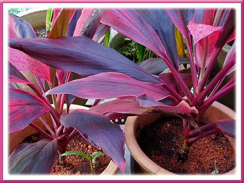 Successful propagation of Ti Plant (Cordyline terminalis) by tip cuttings that were planted a month ago