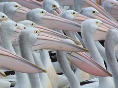 Patient Pelicans (Xtoffa) Tags: fuji ngc pelican current wow1 fuji602 naturesfinest theentrance specanimal colorphotoaward flickrdiamond thebestofday gnneniyisi artofimages bestcapturesaoi elitegalleryaoi mygearandmepremium mygearandmebronze mygearandmesilver mygearandmegold xtoffa mygearandmeplatinum mygearandmediamond tplringexcellence aboveandbeyondlevel1 flickrstruereflection1 4timesasnice 6timesasnice 5timesasnice 7timesasnice