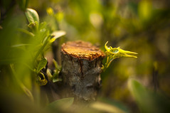 A New Beginning (michaeljosh) Tags: bokeh depthoffield growth bark trunk santan newsprout goldenlight nikkor50mmf14d choppedoff project365 anewbeginning nikond90 michaeljosh natureslessons
