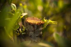 A New Beginning (michaeljosh) Tags: bokeh depthoffield growth bark trunk santan newsprout goldenlight nikkor50mmf14d choppedoff project365 anewbeginning nikond90 michaeljosh natureslessons