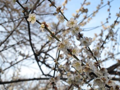 自然観察公園 梅