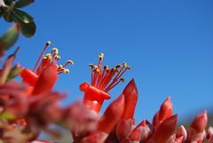 Ocotillo Bloom (pilz8) Tags: blue red flower nature desert bloom nectar ocotillo pilz8