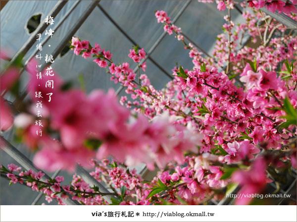 【梅峰農場桃花緣】最美的桃花隧道,就在南投梅峰這裡~(上)31