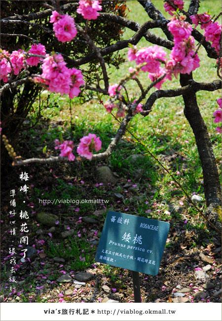 【梅峰農場桃花緣】最美的桃花隧道,就在南投梅峰這裡~(上)41