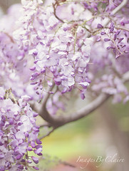 Wisteria Lane.... (ImagesByClaire) Tags: home 50mm soft pretty blossoms depthoffield lilac delicate wisteria infullbloom project365 flutteringinthebreeze florabellatexturesandoverlays