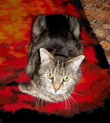 Paul, as usual, resting on his left leg. (Hairlover) Tags: pet cats pets public cat kitten kitty kittens kitties catloaf catloaves kittyloaf threeleggedcat hairlover allcatsnopeople 21yearoldcat