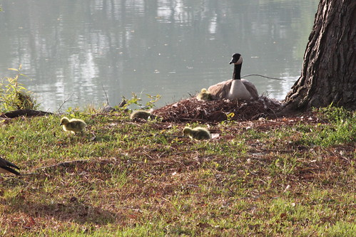 baby geese and momma