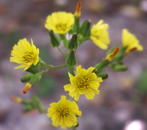 Yellow Flowers, Species TBD