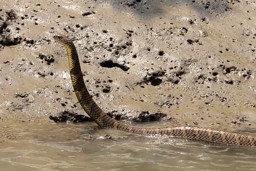 King Cobra, Sundarbans National Park, West-Bengal