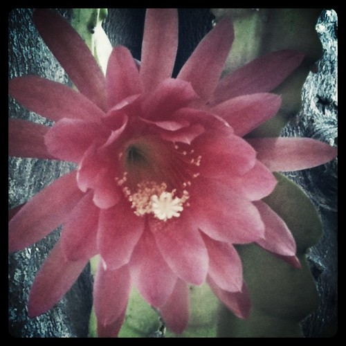 Amazing cactus flowers in my uncle's backyard.