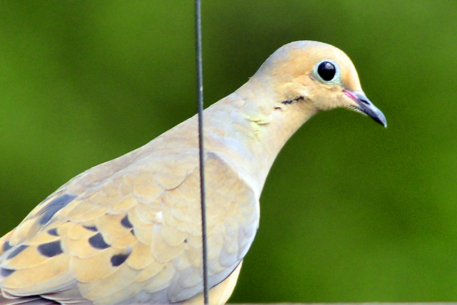 mourning dove 2011