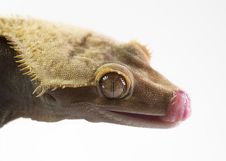 Crested Tongue