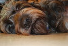 Bearded Baby (fionnsgirl) Tags: dog brown puppy nose sweet handsome doggy doggie fionn
