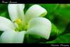 Orange Jessamine / น้องแก้วน่าร้าก (ดอกแก้ว) (AmpamukA) Tags: orange white flower macro tree natural box chinese bark lime lakeview mock jessamine cosmetic murraya ดอก paniculata ดอกไม้ satinwood ไทย มาโคร แก้ว ampamuka กะมูนิง แก้วขาว แก้วขี้ไก่ แก้วพริก แก้วลาย จ๊าพริก ตะไหลแก้ว