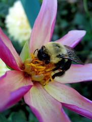 That Last Sip (Puzzler4879) Tags: flowers macro bees ngc longisland bumblebees dahlias flowermacro bayardcuttingarboretum arboretums insectmacro insectsonflowers newyorkstateparks a580 dahliagardens canona580 canonpowershota580 powershota580 longislanddahliasociety longislandstateparks